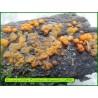 Protoclavaire déliquescente - Dacrymyces stillatus - 5061