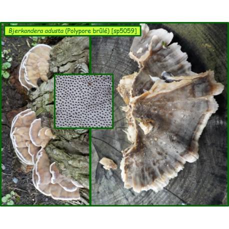 Polypore brûlé - Bjerkandera adusta - 5059