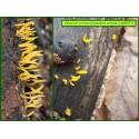 Calocère cornue - Calocera cornea - 5071