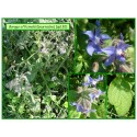 Bourrache - Borago officinalis - 130