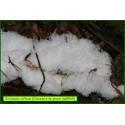 Chevelure de glace - Exidiopsis diffusa - 5069
