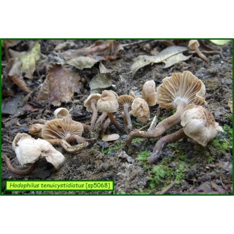Hodophilus tenuicystidiatus - 5068
