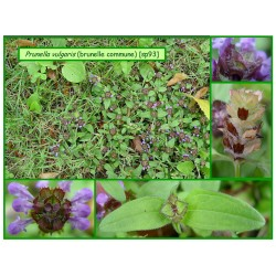 Brunelle commune - Prunella vulgaris - 093