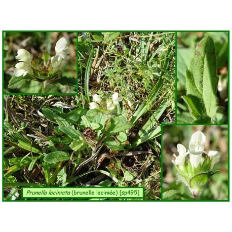 Brunelle laciniée - Prunella laciniata - 495