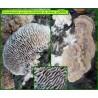 Dédalée du chêne - Daedaleopsis quercina - 5086