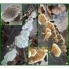 Plicature crispée - Plicaturopsis crispa - 5084