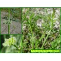 Torilis noueux - Torilis nodosa - 906