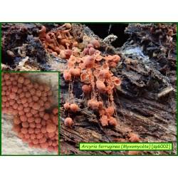 Arcyria ferruginea - Myxomycète - 6002