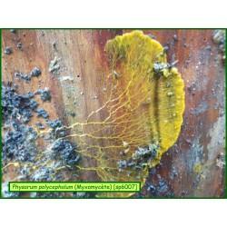 Physarum polycephalum - Myxomicète -  6007