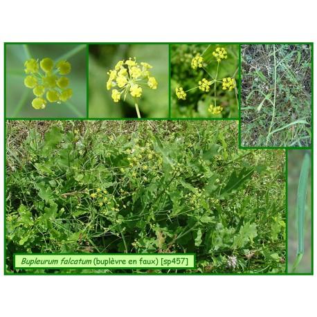 Buplèvre à feuilles en faux - Bupleurum falcatum - 457