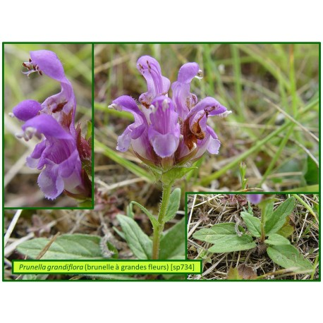 Brunelle à grandes fleurs - Prunella grandiflora - 734