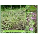 Calament clinopode - Clinopodium vulgare - 554