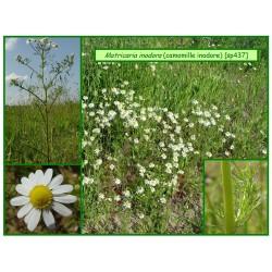 Camomille inodore - Matricaria inodora - 437