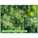 Camomille odorante - Matricaria discoidea - 154
