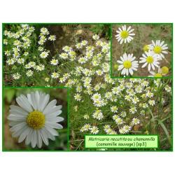 Camomille sauvage - Matricaria recutita ou chamomilla - 003-137