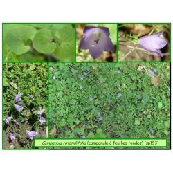 Campanule à feuilles rondes - Campanula rotundifolia - 193
