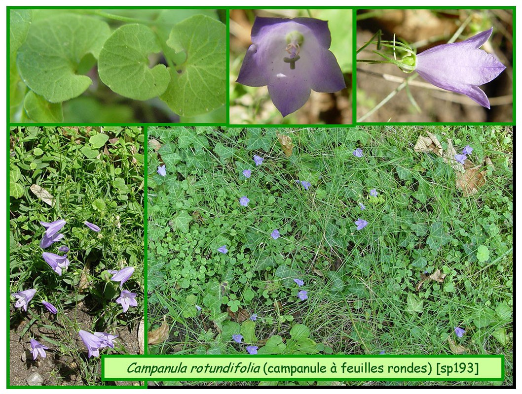 Campanule feuilles rondes campanula rotundifolia 193 flore chaumont vexin thelle - Campanule a feuilles rondes ...