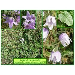 Campanule fausse-raiponce - Campanula rapunculoides - 578