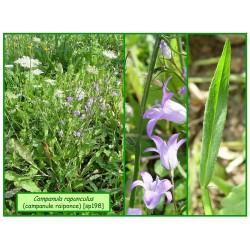 Campanule raiponce - Campanula rapunculus - 198-360