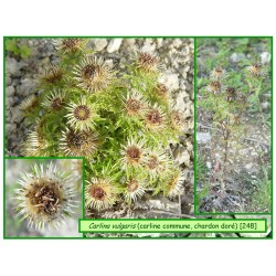 Carline commune - Carlina vugaris - 248