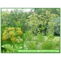Céleri - Apium dulcis - 377
