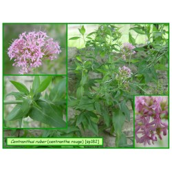 Centranthe rouge - Centranthus ruber - 182