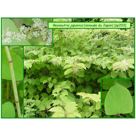 Renouée du Japon - Fallopia (Reynoutria)  japonica -203