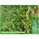 Renouée persicaire - Polygonum persicaria - 144