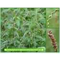 Renouée poivre d'eau - Persicaria hydropiper - 610