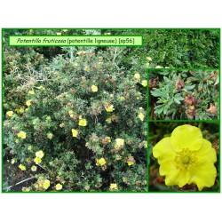 Potentille ligneuse - Potentilla fruticosa - 056
