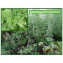 Absinthe - Artemisia absinthium - 231