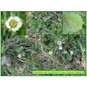 Potentille faux fraisier - Potentilla sterilis - 660