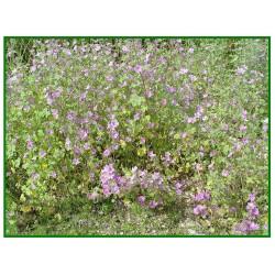Mauve sylvestre - Malva sylvestris - 026