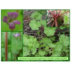 Géranium à feuilles rondes - Geranium rotundifolium - 282