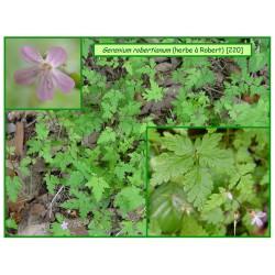 "Géranium ""herbe à Robert"" - Geranium robertianum - 220"