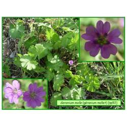 Géranium mollet - Geranium molle - 092
