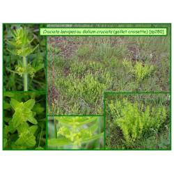 Gaillet croisette - Cruciata laevipes ou Galium cruciata - 280