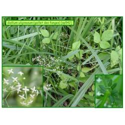 Gaillet des fanges - Gallium uliginosum - 542