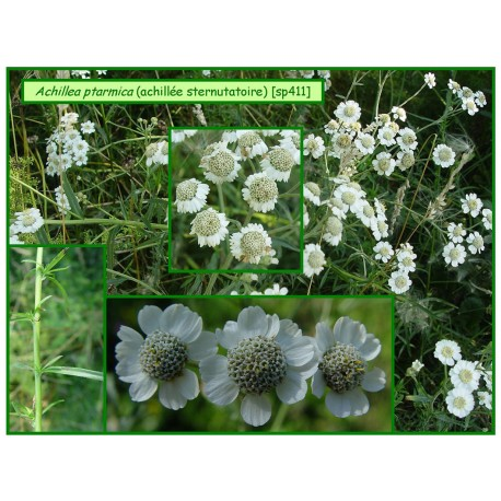 Achillée sternutatoire - Achillea ptarmica - 411