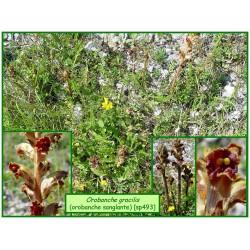Orobanche sanglante - Orobanche gracilis - 493