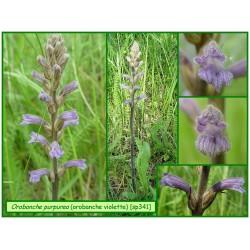 Orobanche pourpre - Orobanche purpurea - 341