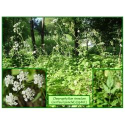 Cerfeuil penché - Chaerophyllum temelum - 461