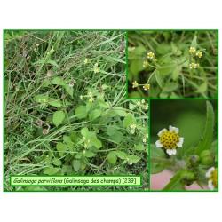 Galinsoga des champs - Galinsoga parviflora - 239