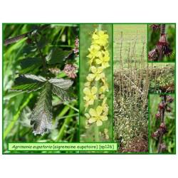 Aigremoine - Agrimonia eupatoria - 126