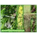 Aigremoine eupatoire - Agrimonia eupatoria - 126