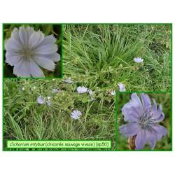 Chicorée sauvage vivace - Cichorium intybus - 050