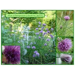 Ciboulette - Allium schoenoprasum - 323