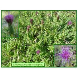 Cirse acaule - Cirsium acaule - 479
