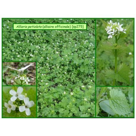 Alliaire - Alliaria petiolata - 275