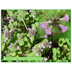 Clinopode commun - Clinopodium vulgare - 074